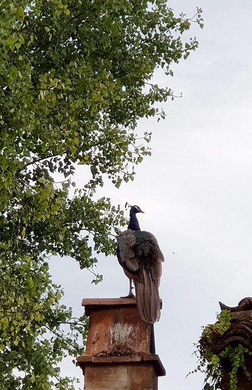 pavone antica corte Pallavicina